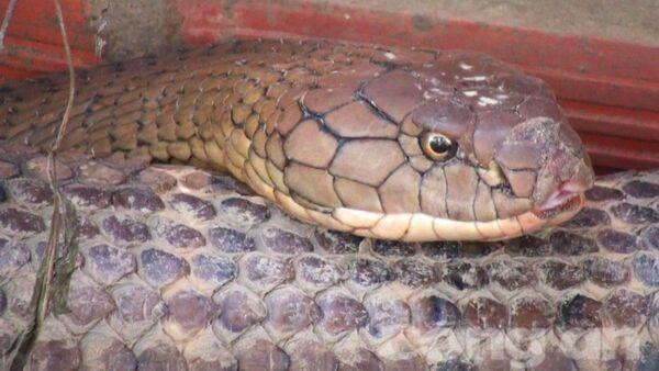 Cặp rắn nặng 60kg, dài đến 7m ở Núi Cấm, An Giang - Sputnik Việt Nam