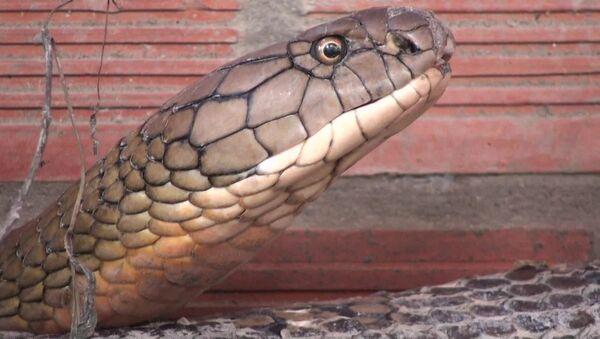 Cặp rắn hổ mây bắt được ở Núi Cấm, An Giang - Sputnik Việt Nam
