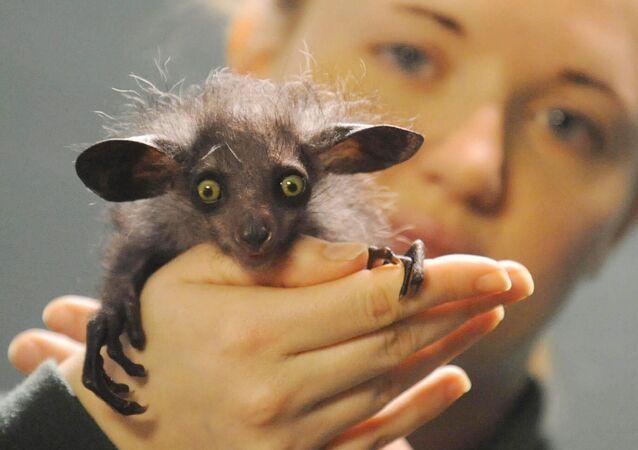 Khỉ chỉ hầu Madagascar trong tay nhân viên sở thú Bristol