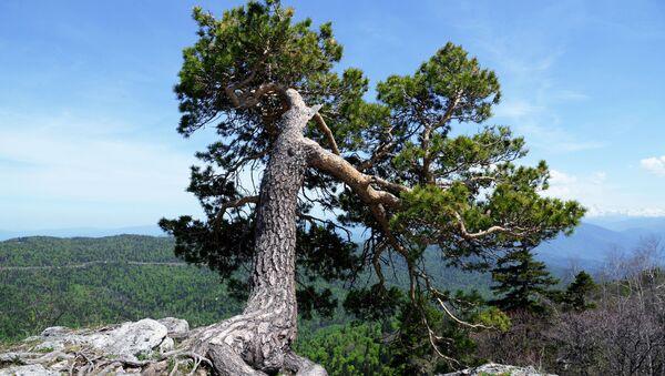 Một cái cây trên rìa ngọn núi trong cao nguyên Lac-Naki Khu dự trữ sinh quyển tự nhiên quốc gia Kavkas mang tên Kh. G. Shaposhnikov - Sputnik Việt Nam