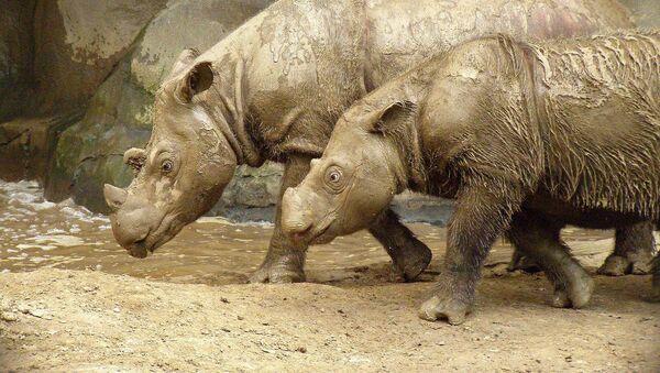 Con tê giác Sumatra - Sputnik Việt Nam