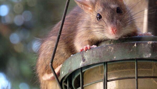 Con chuột  - Sputnik Việt Nam