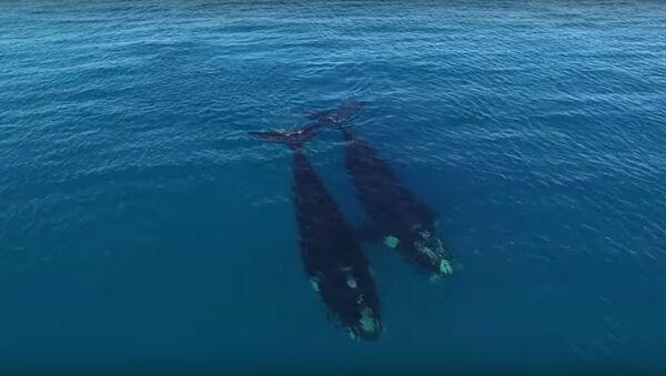 Cá voi quan tâm tới người lướt sóng ở Úc - Sputnik Việt Nam