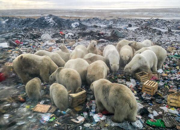 Gấu Bắc cực kiếm thức ăn tại bãi rác gần làng Belushya Guba, quần đảo Novaya Zemlya - Sputnik Việt Nam