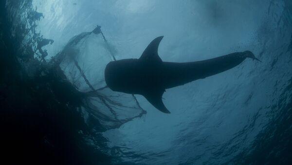 Cá mập bên cạnh lưới đánh cá - Sputnik Việt Nam