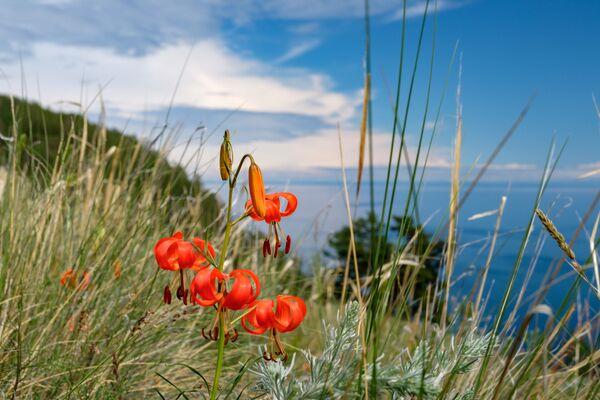 Hoa mọc trên đảo Olkhon, hồ Baikal, tỉnh Irkutsk - Sputnik Việt Nam