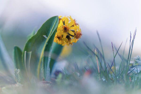 Bông hoa trên nền cỏ băng giá - Sputnik Việt Nam
