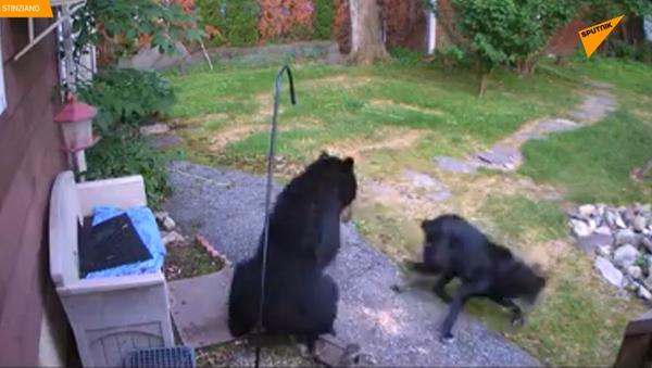 Chú chó dũng cảm đuổi một con gấu ra khỏi khu vườn nhà hàng xóm - Sputnik Việt Nam