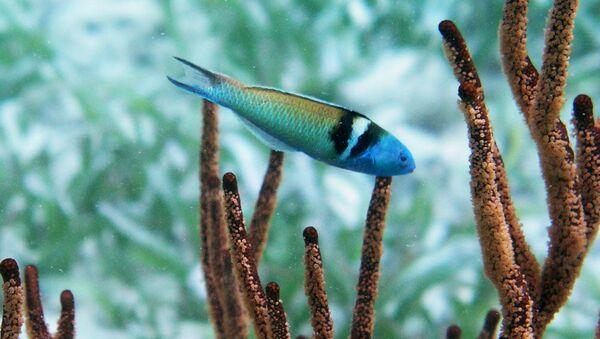 cá Thalassoma bifasciatum - Sputnik Việt Nam