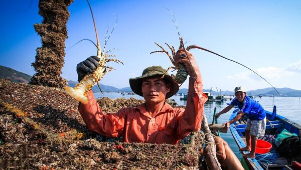Niềm vui của người nuôi tôm hùm ở vịnh Xuân Đài (thị xã Sông Cầu) khi chuẩn bị xuất mẻ tôm hùm khỏe và đủ trọng lượng tiêu chuẩn ra thị trường.  - Sputnik Việt Nam