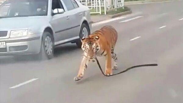 Hổ nhảy bổ khỏi xe và nghênh ngang trên phố - Sputnik Việt Nam