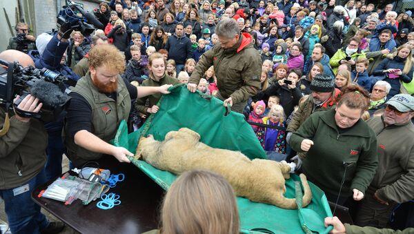Сác nhân viên Sở thú thành phố Odense đã tiến hành mổ xẻ một con sư tử - Sputnik Việt Nam