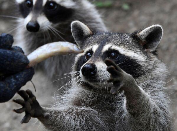 Gấu trúc trong giờ ăn tại Công viên động vật săn mồi nhỏ thuộc công viên safari Primorsky  - Sputnik Việt Nam
