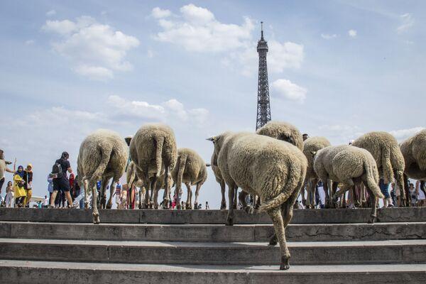 Những con cừu đối diện tháp Eiffel ở Paris - Sputnik Việt Nam