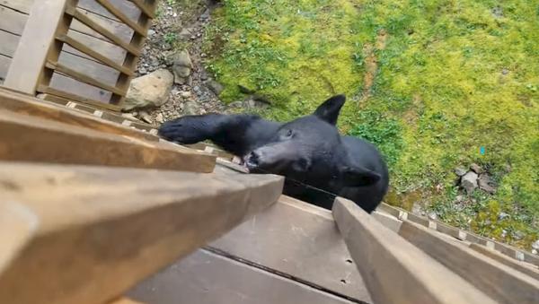 Video: Gấu đói thoắt cái trèo lên ban công  - Sputnik Việt Nam