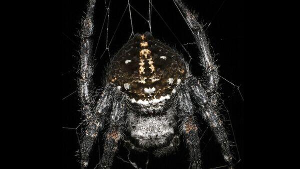 Con nhện Caerostris darwini  - Sputnik Việt Nam