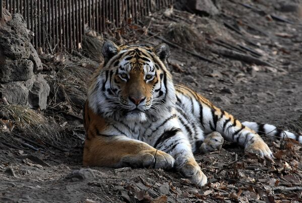 Hổ Amur trong công viên safari ở Primorsk - Sputnik Việt Nam