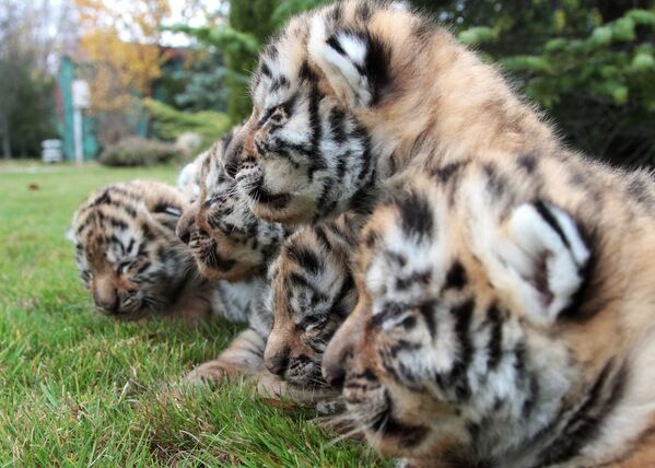 Đàn hổ Amur sơ sinh trong công viên safari Taigan ở Crưm - Sputnik Việt Nam