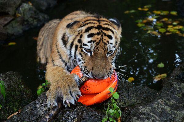 Chú hổ con mười tháng tuổi Sherkhan, với bố mẹ là hổ Amur nổi tiếng Amur và  hổ Ussuri, trong chuồng thú công viên safari Primorsk - Sputnik Việt Nam