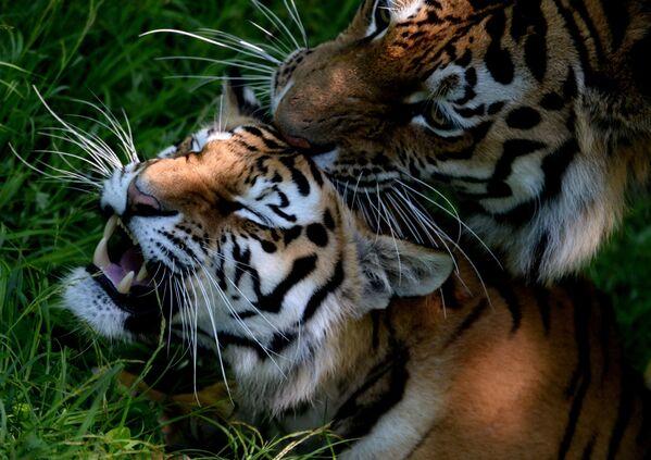 Hai con hổ Amur và Ussuri trong công viên safari Primorsk - Sputnik Việt Nam