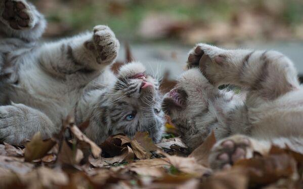 Những con hổ Siberia chơi trong Sở thú Thượng Hải - Sputnik Việt Nam
