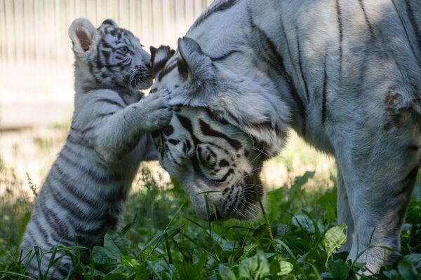 Chú hổ trắng Bengal cùng mẹ trong chuồng ngoài trời của vườn thú Novosibirsk - Sputnik Việt Nam