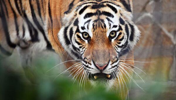 Hổ trong công viên safari Taigan, Crưm - Sputnik Việt Nam