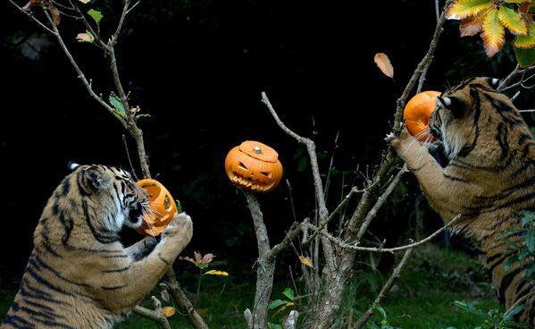 Hổ ăn bí ngô Halloween tại Sở thú ZSL ở London - Sputnik Việt Nam