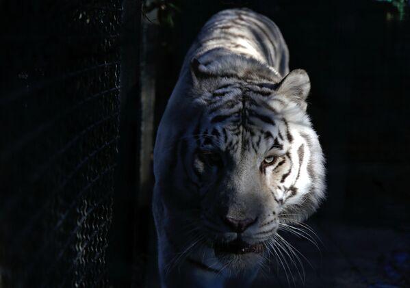 Hổ cái trắng Bengal Tigryulya trong vườn thú Câu chuyện cổ tích, Yalta - Sputnik Việt Nam