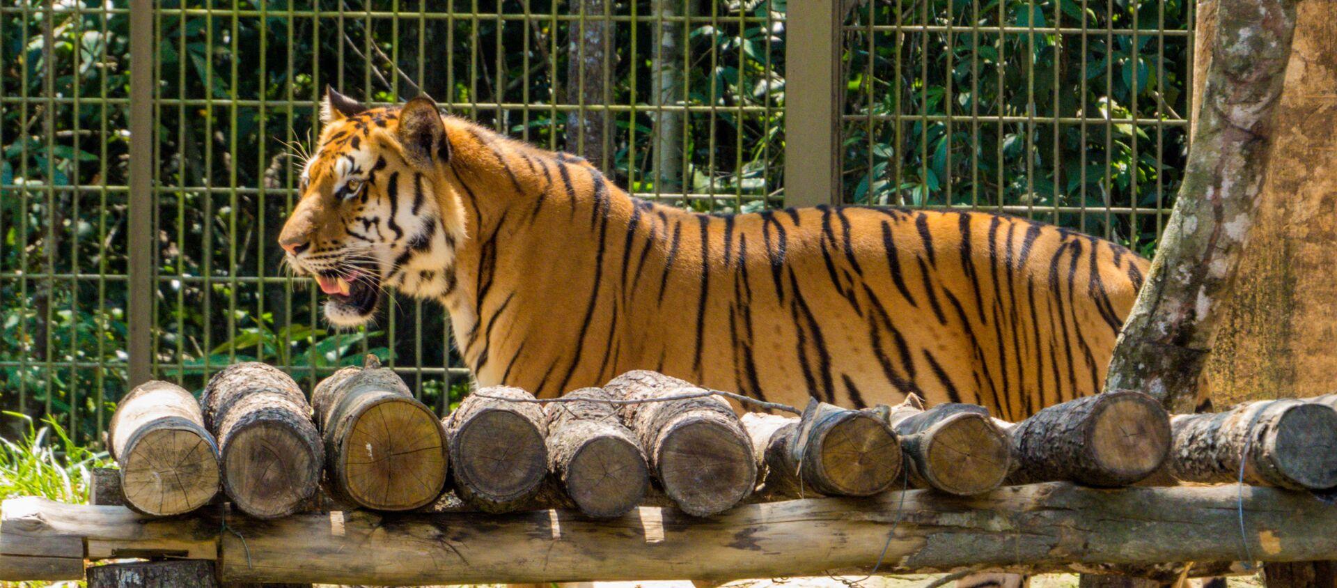 Đàn hổ Bengal ở vườn thú Phú quốc, Việt Nam  - Sputnik Việt Nam, 1920, 30.07.2021