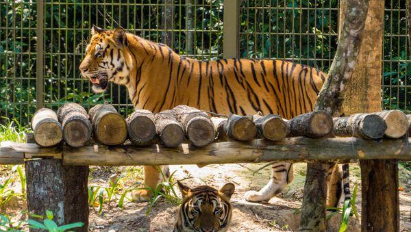 Đàn hổ Bengal ở vườn thú Phú quốc, Việt Nam  - Sputnik Việt Nam