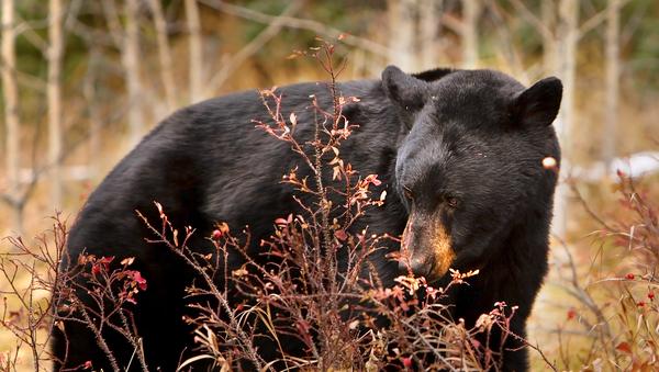 gấu đen ở Canada - Sputnik Việt Nam