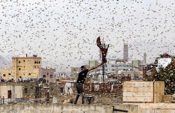 Người đàn ông thử bắt đám châu chấu bay qua thủ đô Sanaa của Yemen - Sputnik Việt Nam