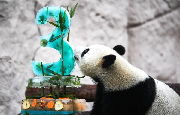 Gấu trúc Zhui kỷ niệm sinh nhật trong Vườn thú Matxcơva  - Sputnik Việt Nam
