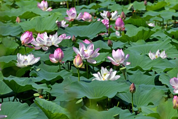 Hoa sen trên hồ Basseyn gần làng Yakovlevka - Sputnik Việt Nam