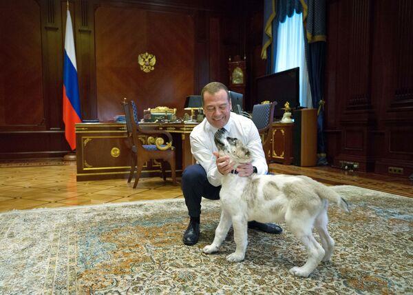 Thủ tướng Nga Dmitry Medvedev và chú chó giống Alabai tên Ayk, được Tổng thống Turkmenistan Gurbanguly Berdimuhamedov tặng hồi tháng 5 tại dinh thự Gorki - Sputnik Việt Nam