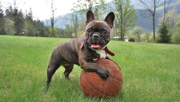 Con chó giống bulldog Pháp - Sputnik Việt Nam