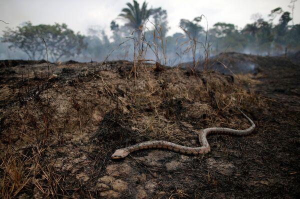 Ảnh hưởng của cháy rừng ở Amazon, Brazil - Sputnik Việt Nam