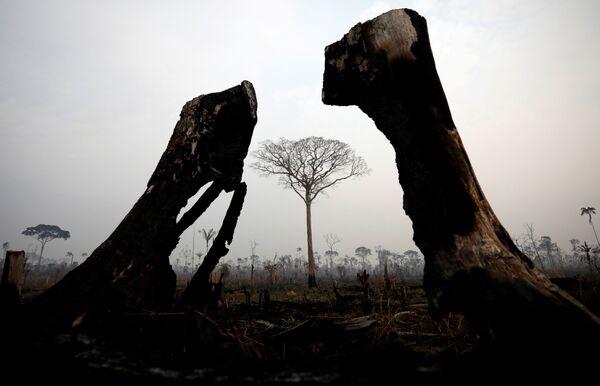 Cây bị cháy trong rừng Amazon - Sputnik Việt Nam
