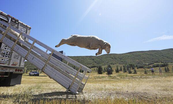 Cừu nhảy ra khỏi xe tải trong Giải vô địch Chó chăn cừu Soldier Hollow ở Mỹ - Sputnik Việt Nam