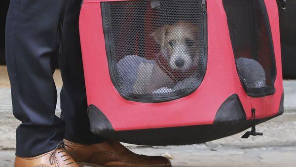 Chó con Jack Russell Terrier (tên là Dylin), mà Thủ tướng Anh, ông Vladimir Johnson đã lấy từ nơi trú ẩn - Sputnik Việt Nam