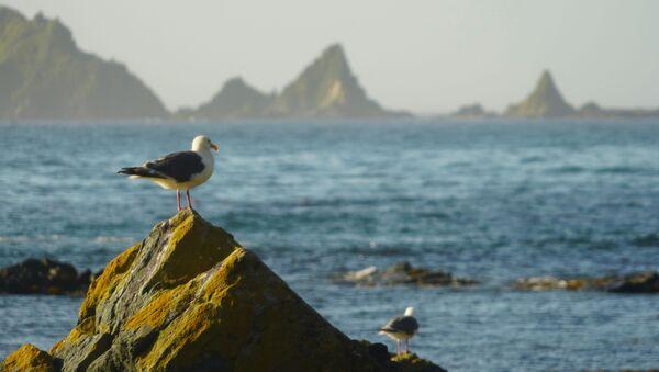 Chim hải âu trên mũi Vasin của đảo Urup - hòn đảo thuộc nhóm đảo phía nam quần đảo Kuril - Sputnik Việt Nam