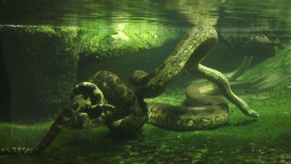 Trăn anaconda xanh - Sputnik Việt Nam