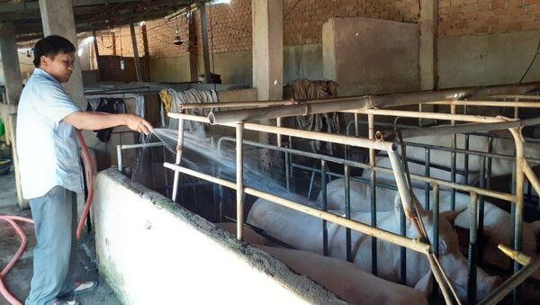 Mặc dù giá lợn hơi tăng cao nhưng gia đình ông Nguyễn Thái Trị, xã Bông Trang, huyện Xuyên Mộc chỉ còn lợn nái, lợn thịt đến kỳ xuất bán còn rất ít.  - Sputnik Việt Nam