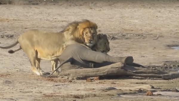 Sư tử ăn một con voi con - Sputnik Việt Nam
