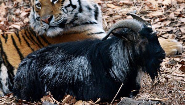 Dê Timur và hổ Amur từ Công viên Safari Primorsky - Sputnik Việt Nam
