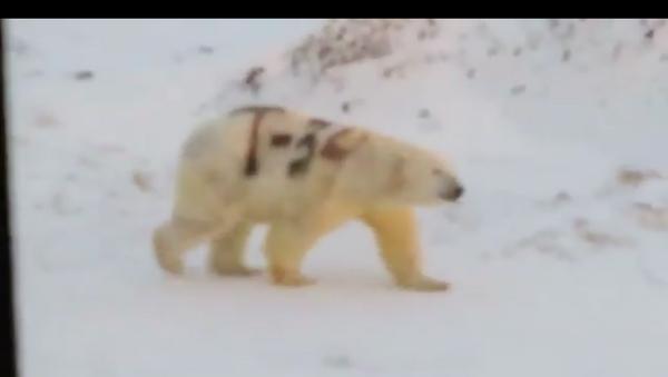 gấu Bắc cực mang ký hiệu T-34 - Sputnik Việt Nam