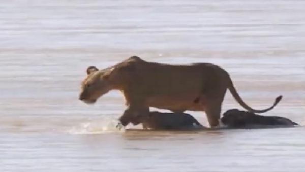 Sư tử mẹ giúp đàn con vượt qua dòng sông đầy cá sấu. - Sputnik Việt Nam