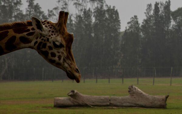 Hươu cao cổ trong vườn thú giữa làn khói lửa cháy rừng ở Úc - Sputnik Việt Nam
