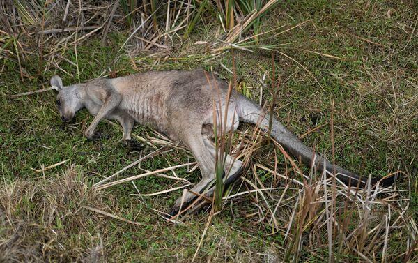 Kangaroo chết trong vụ cháy rừng ở Úc - Sputnik Việt Nam